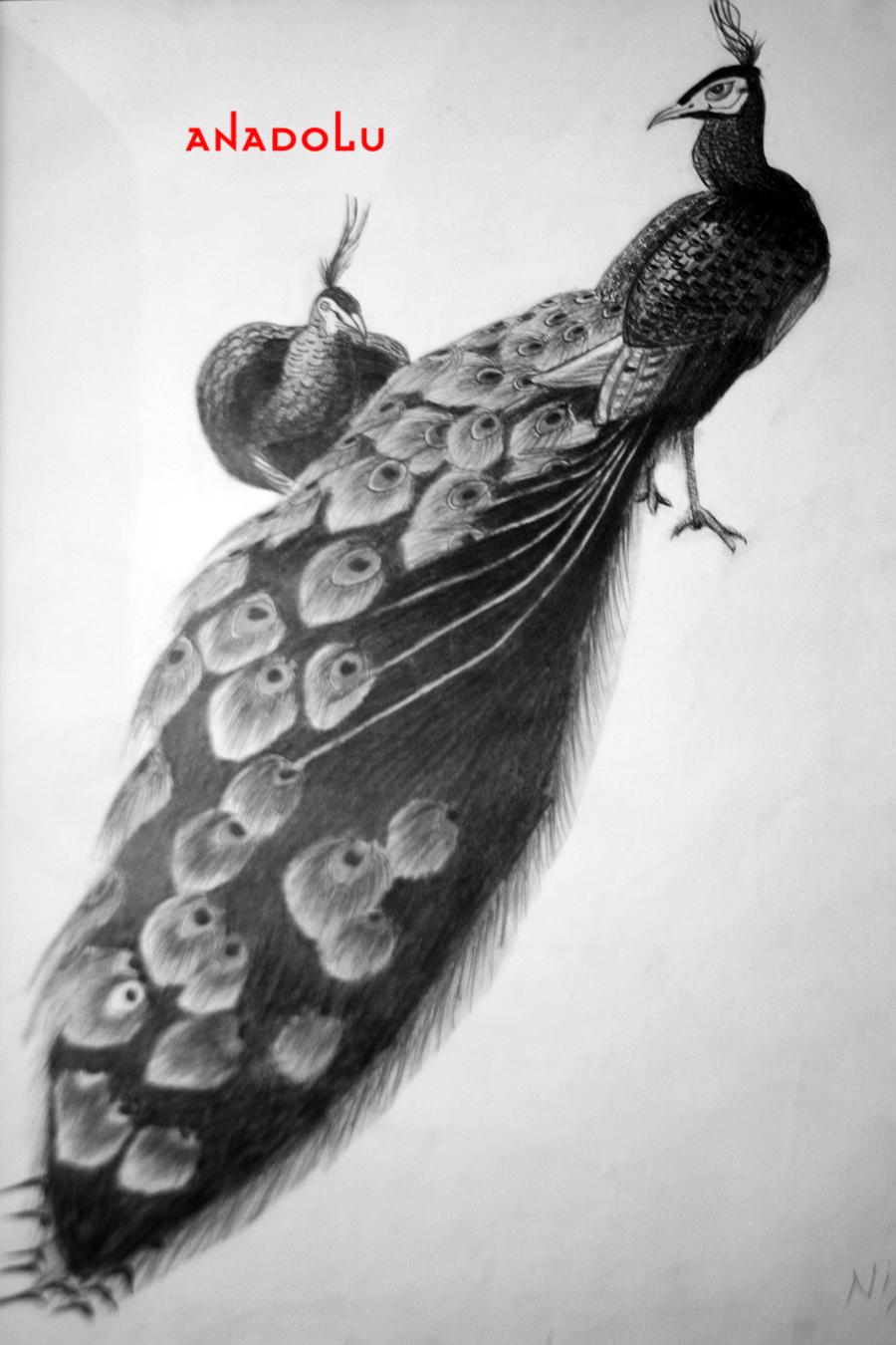 Tavuskuşu Çizimleri Çukurova